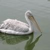 pelican_1.jpg